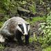 Dynevor Park Badger. by Jamo224