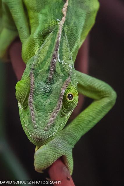 Vieled Chameleon (Chamaeleo Calyptratus)