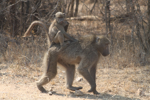 Baby baboon riding mom, Kruger National Park