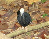 Pava Rajadora [Blue-throated Piping-Guan] (Pipile cumanensis) by barloventomagico
