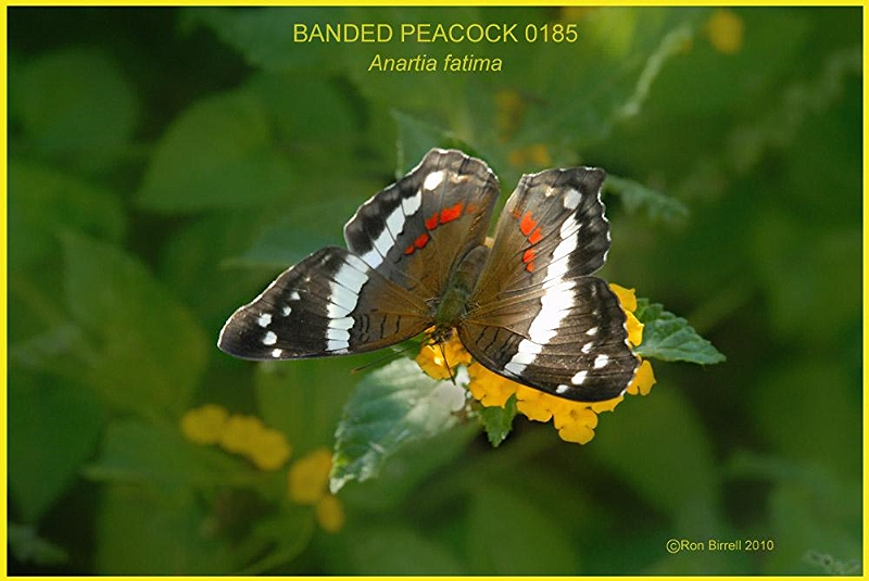 Banded Peacock Butterfly photography by Ron Birrell; DSC_0185 1000