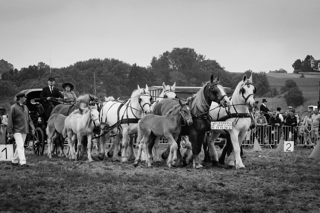 Such A Convoy A Team Of Boulonnais Horses From Lélevage