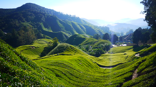 Malaysia - Cameron Highlands | by stapes...