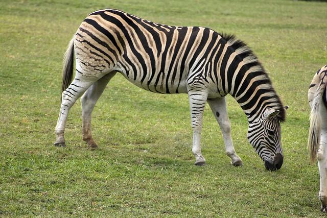 Equus quagga, Nashville Zoo, Nashville, TN