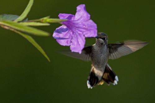 bird hummingbird ave colibrí archilochuscolubris colibrígargantarubí colibrígorjirrubí rubythroatedhummingbird