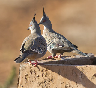 crested  pigeon_1 | by Jim Bendon