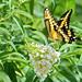 Giant Swallowtail Butterfly by cwnlsl