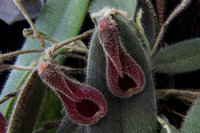Dresslerella caesariata