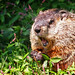 <p>One angry Woodchuck...<br /> <br /> Or groundhog.<br /> <br /> I just have to say, for you lucky folk out there with wildlife in your backyard, I`m sure this is pretty stale...but here in Brooklyn, this is about as exotic a mammal as you will find in the wilds.</p>
