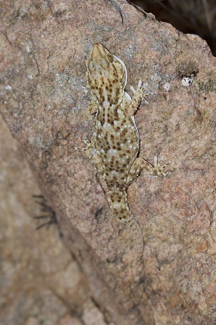 Turner's Thick-toed Gecko  (Chondrodactylus turneri)