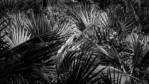 bw blackwhite blackandwhite fan fanpalm light monochrome palm plant shadow shadows silhouette sunlight woods houston texas unitedstates us