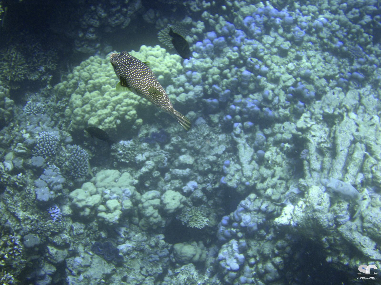 Pesce Palla Mascerato