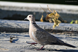 Collared Dove | by Φ-Filippos-Κ