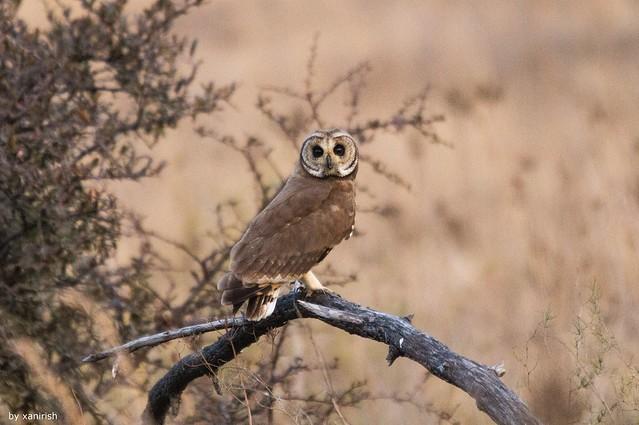 Coruja-moura, Marsh Owl (Asio capensis) - em Liberdade [wildLife]