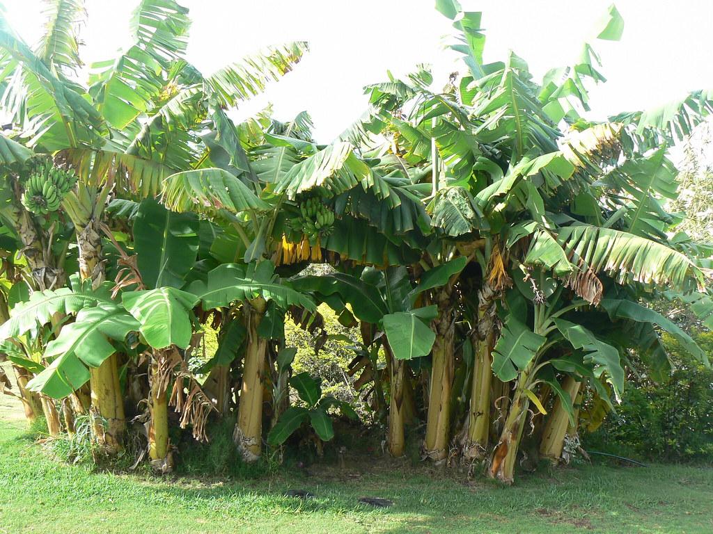 Banana Trees in Maui Hawaii