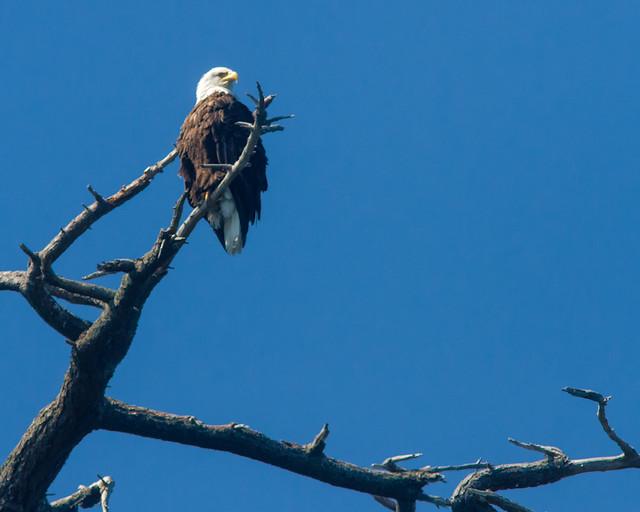 Bald_Eagle_8033_Cypress_Island_San Juans_2012