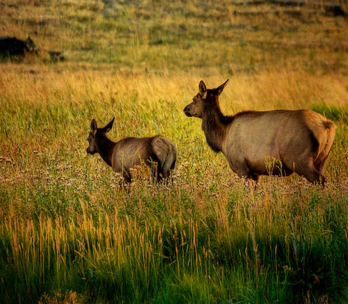 sunset nature field evening cow nikon yellowstonenationalpark yellowstone wyoming elk calf wildflower goldenhour coth d700 madisonrivervalley