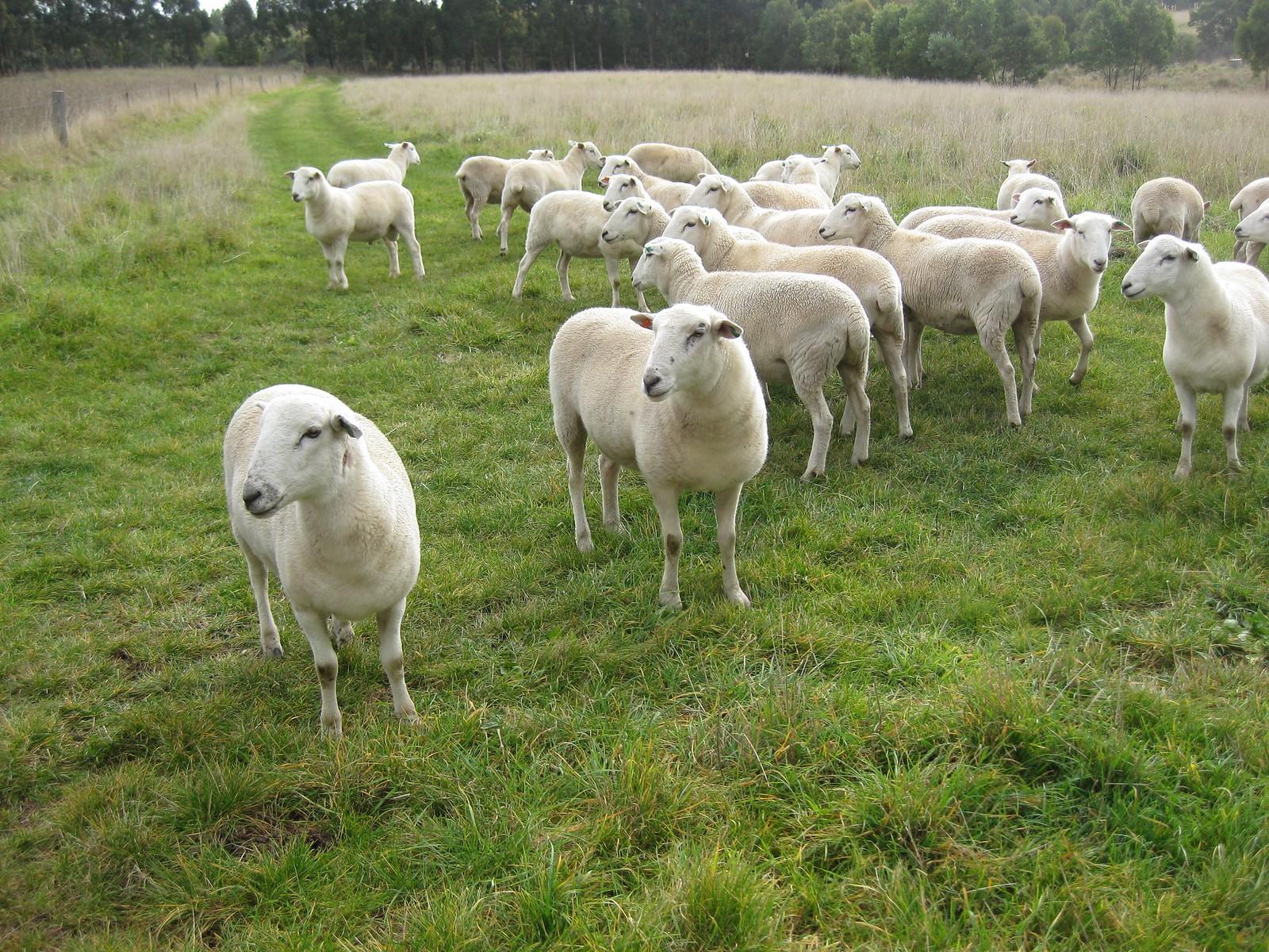 self-sheering sheep