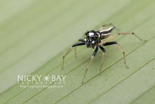 Jumping Spider (Phintella sp.) - DSC_7188