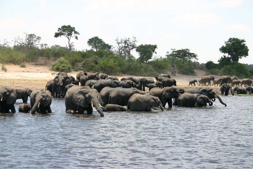 Elephants in Botswana, Chobe National Park