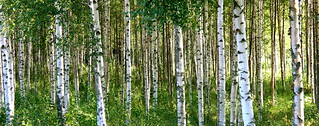 Birch Trees | by /kallu