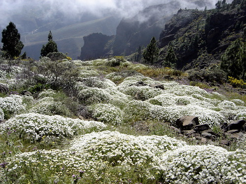 Wild Daisies over at Pozo de las Nieves | by elsua