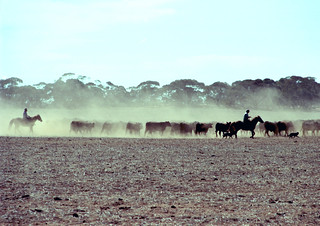 Giddyup - Horses - Dust - Cattle - David - Australia   by Schilling 2