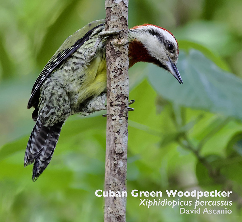 Cuban Green Woodpecker, Xiphidiopicus percussus_199A5659