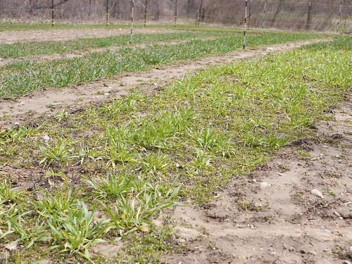 Winter Grains Greening Up | by pjchmiel
