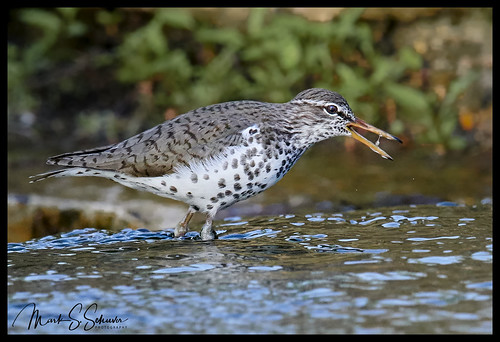 spottedsandpiper sandpiper forestpark stlouis missouri nikon d850 600mmnikkor