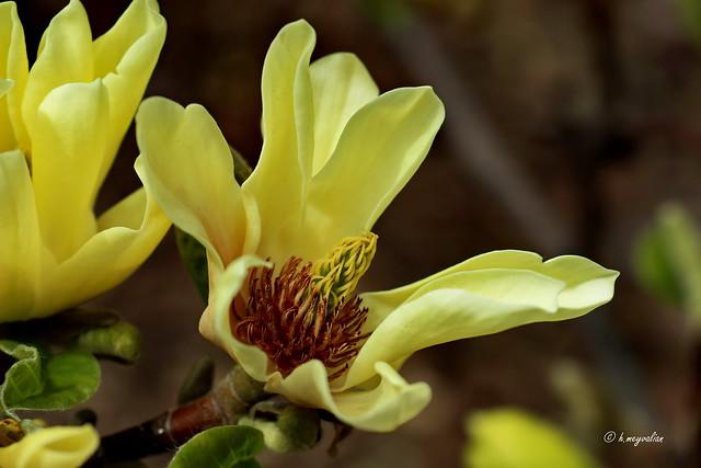 Magnolias à fleurs jaunes