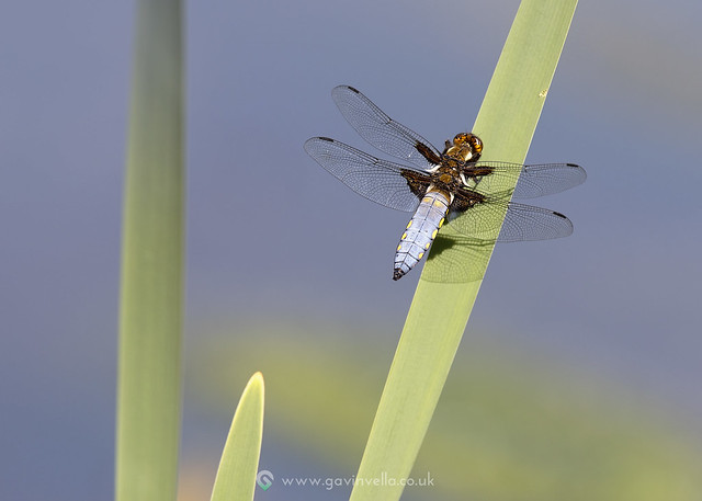 Male Broad-bodied Chaser 20th May