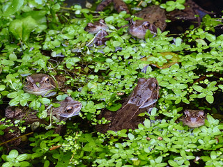 Frogs Apr18 | by http://wildaboutthebritishisles.uk