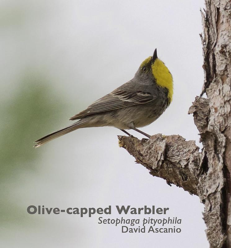 Olive-capped Warbler, Setophaga pityophila_199A3596