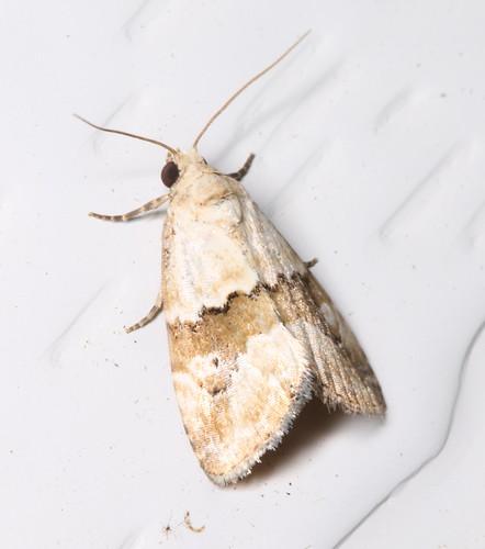 lepidoptera moths australia manningriver inaturalist tinonee maliatthaamorpha