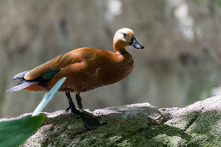 Shiny Brown Duck | by Eric Kilby