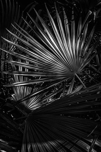 bw blackwhite blackandwhite fanpalm monochrome palmetto palmettostatepark park patterns statepark gonzales texas unitedstates us
