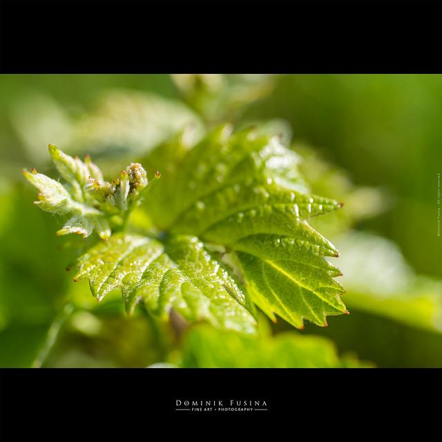 Baby grape | Beaujolais