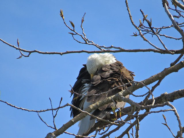 Preening Eagle