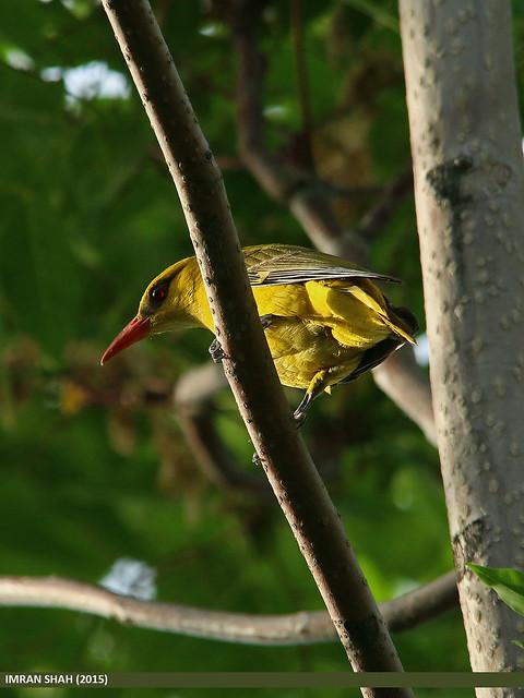 Golden Oriole (Oriolus oriolus)