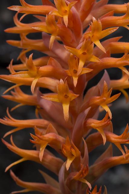 Dichromanthus cinnabarinus - close up