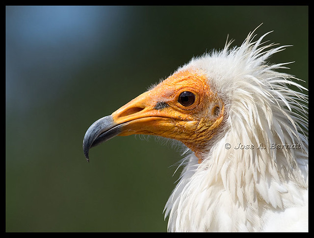 Egyptian  Vulture, (Neophron percnopterus).  Olympus Zuiko 300mm. f 4