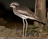 Bush Stone-curlew by SillyOldBugger (in and out of internet range)