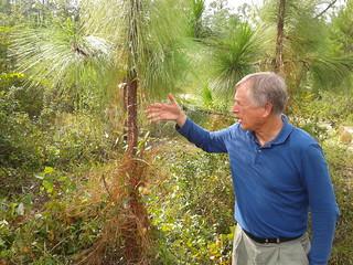 On longleaf pine | by faul