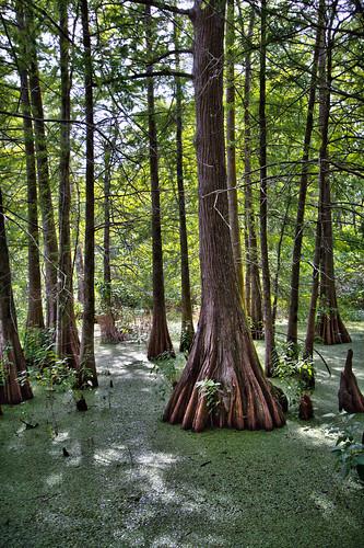 nature water landscape woods louisiana 10 swamp 20mm cypresstrees lakemartin mrgreenjeans gaylon gaylonkeeling quackweed