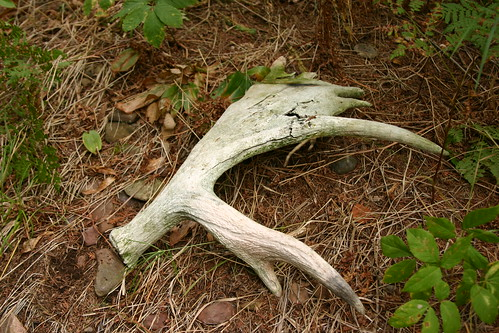 Moose Antler | by rengber