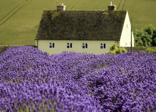 lavender lavenderfields snowshilllavenderfarm purple british countryside beautiful scenes cottages englishcottages englishgardens niiiiij nigelstewartphotographycom
