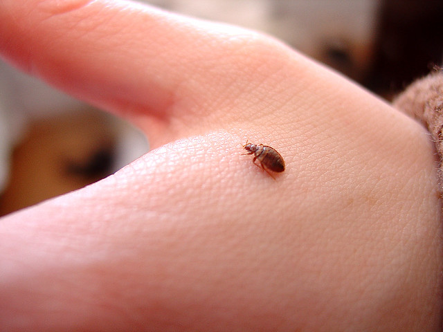 Pests - Bed Bugs