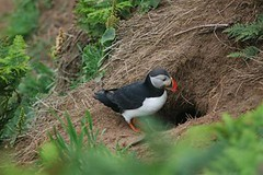 Puffin at burrow