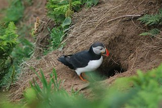 Puffin at burrow | by Army Ornithological Society